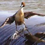 Canard surfant sur une vague